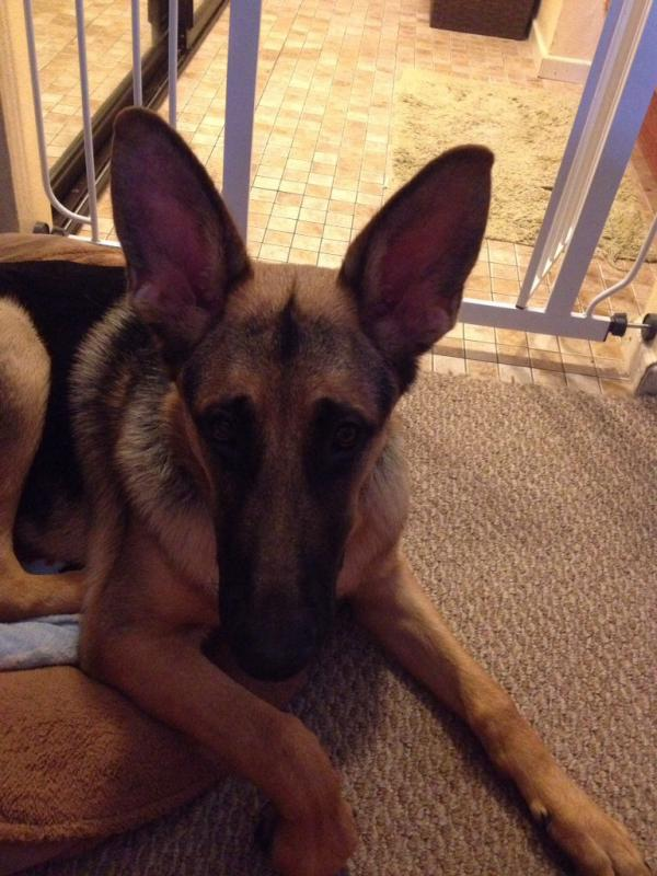 Floppy ear tips-imageuploadedbypg-free1393618704.914790.jpg