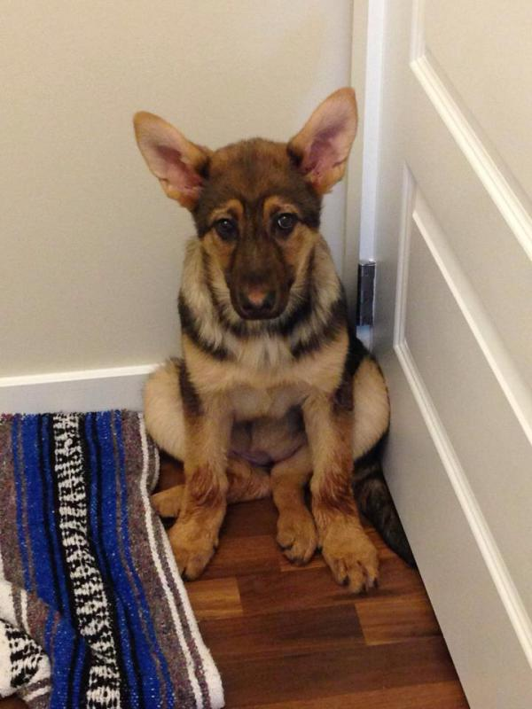 New here! I have a red sable German shepherd who is now 14 months old soon an...-imageuploadedbypg-free1394650804.381135.jpg