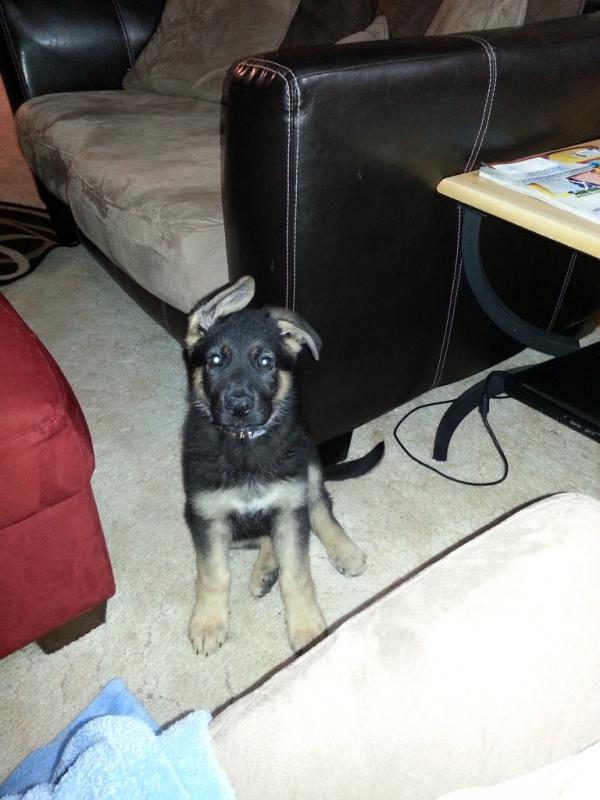 Wanting info on search n rescue/therapy dog for puppy-imageuploadedbypg-free1395086371.726856.jpg