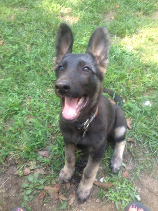 german shepherd of another color-imageuploadedbypg-free1395193981.314383.jpg