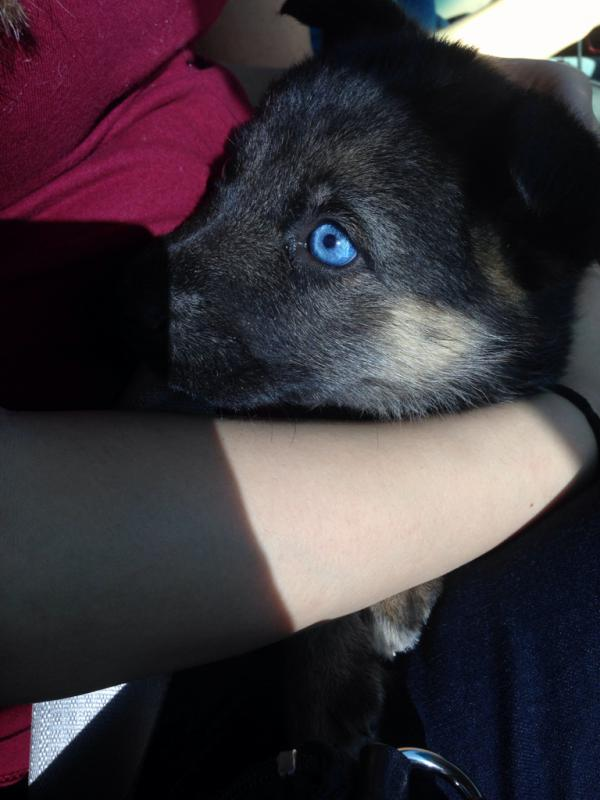 My GSD has blue eyes, I was told she was pure bred. is this normal?-imageuploadedbypg-free1395302313.085895.jpg
