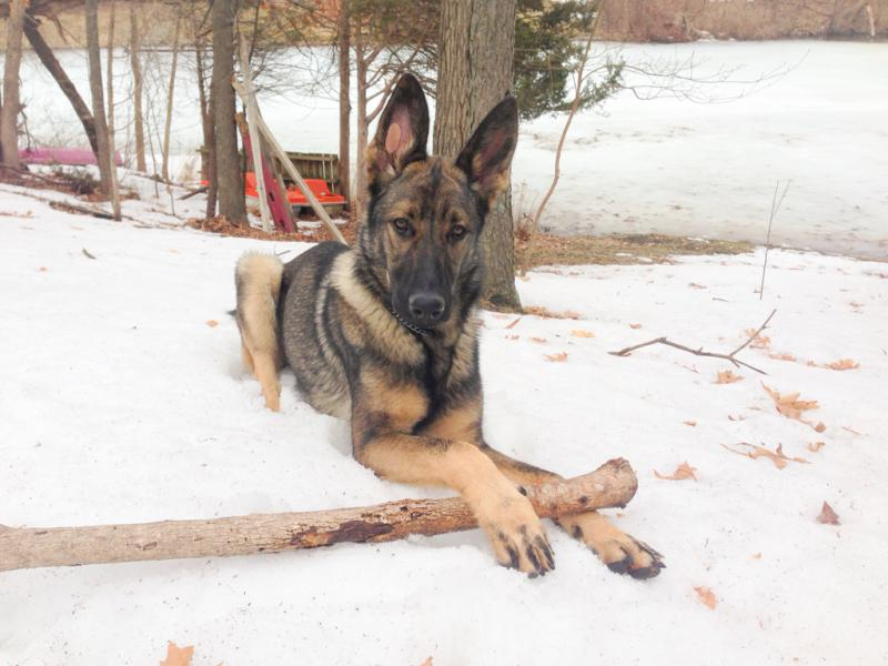 Warden at 11 months - pics-imageuploadedbypg-free1396122909.665964.jpg
