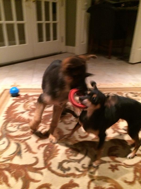 Watching how my pups play just warms my heart.-imageuploadedbypg-free1397188675.444841.jpg