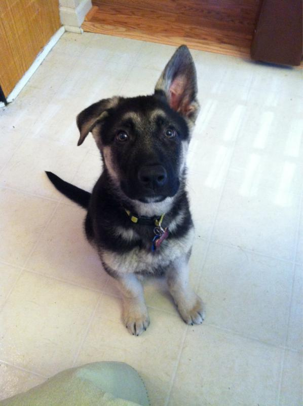 8/9/10+ Weeks old and ears are not up...-imageuploadedbypg-free1397257218.202743.jpg
