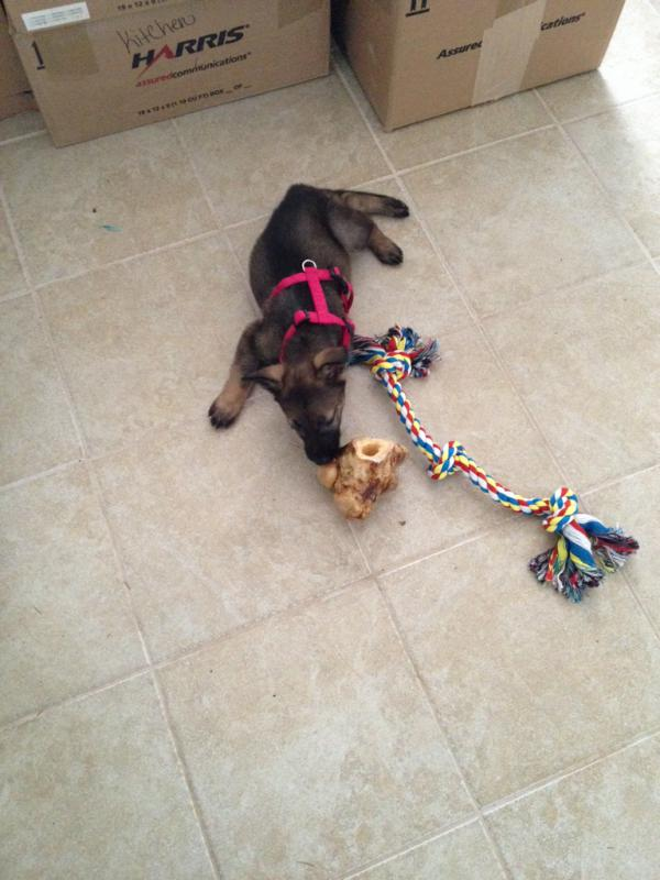 Does my new puppy look purebred?-imageuploadedbypg-free1409676715.473161.jpg