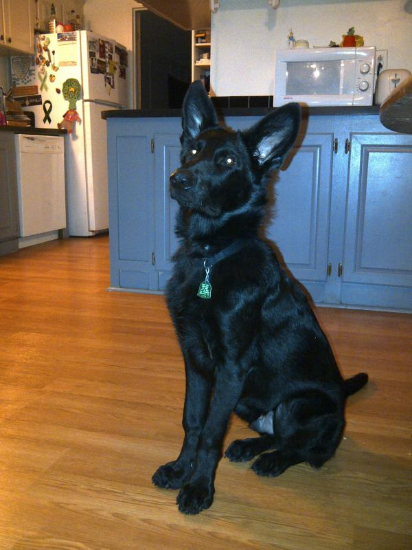 Show Your Beautiful Black GSDS!-img-20111102-00394.jpg