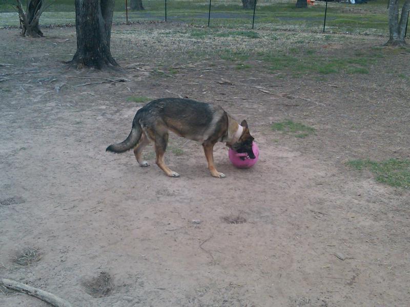 Pink collar check, pink leash check, pink jolly ball dbl check!-img00200-20110313-1118.jpg