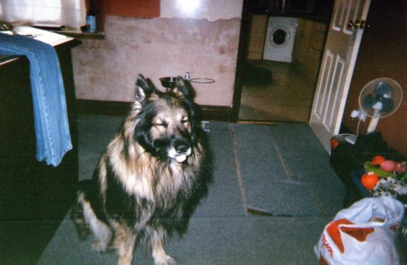 Funny German Shepherd Dog