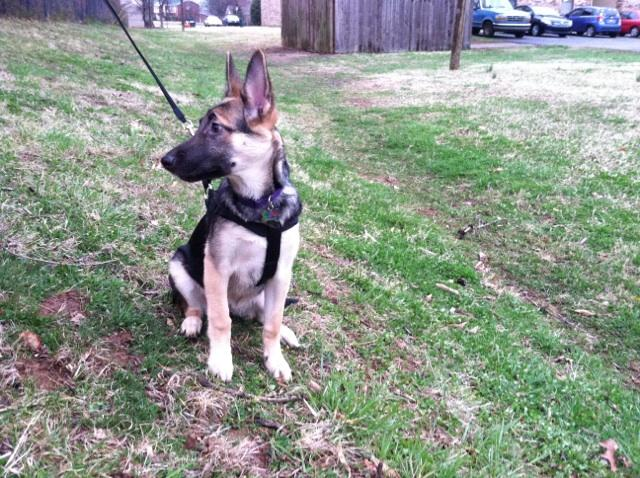 20 Week Old GSD Small?-img950450.jpg