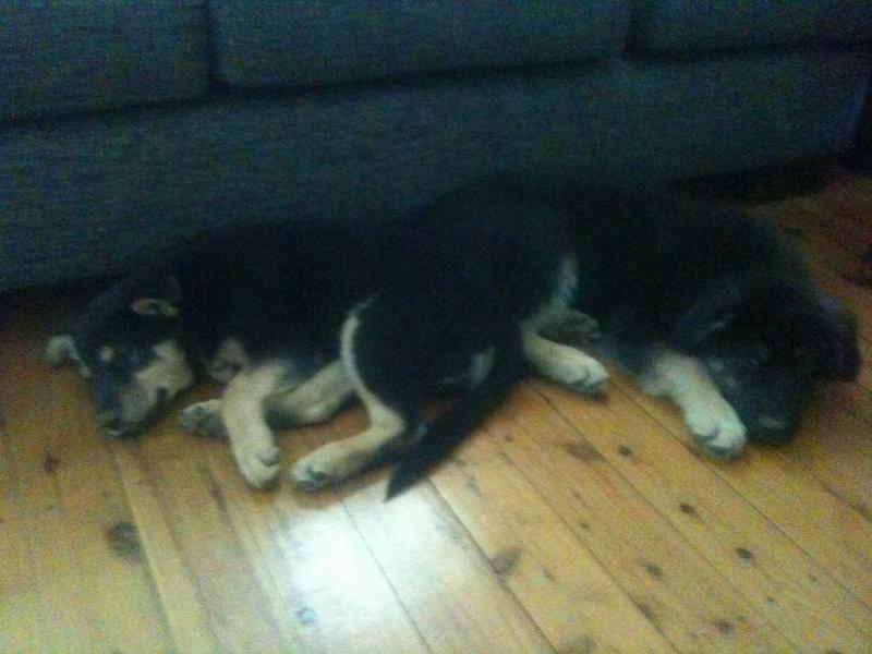 Pictures of my two gs puppies at 4 months-img_0113.jpg