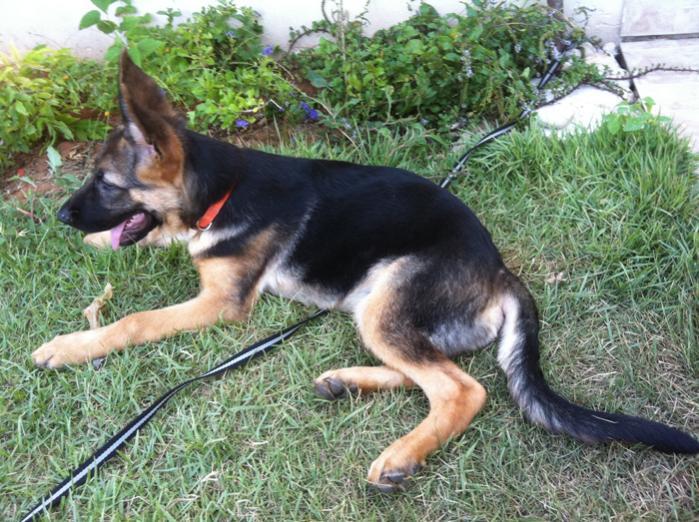 17 Weeks Old Weight 3747 Lbs Is It Normal German Shepherd Dog