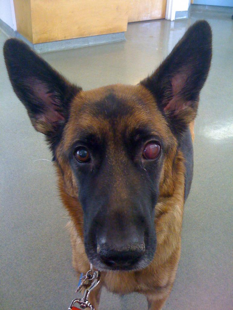 Aspergillus fungal infection - German Shepherd Dog Forums