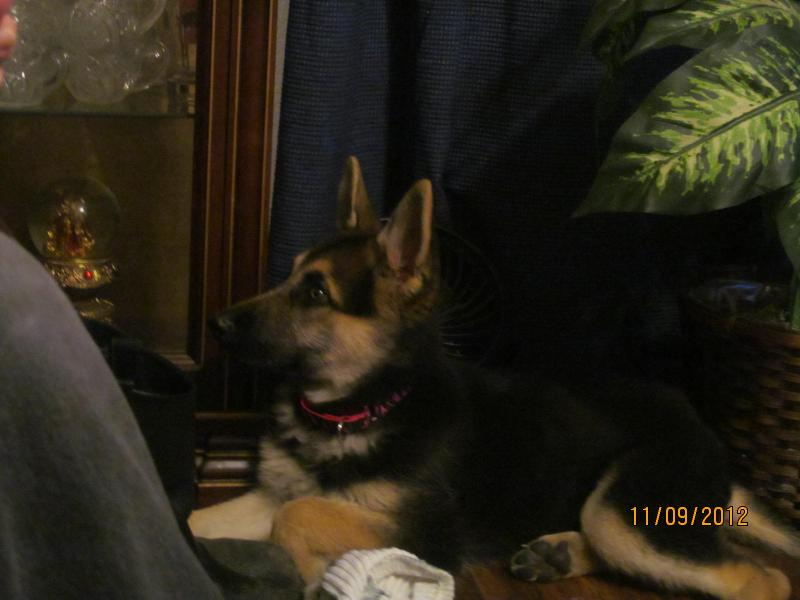 Proud mom to Calli-my rescue gsd-img_1193.jpg