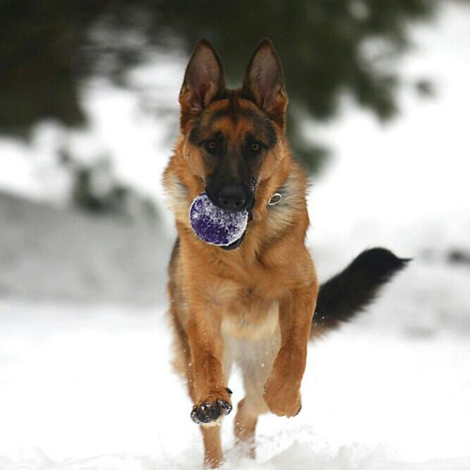 Quot Jersey Quot Playing In The Snow German Shepherd Dog Forums