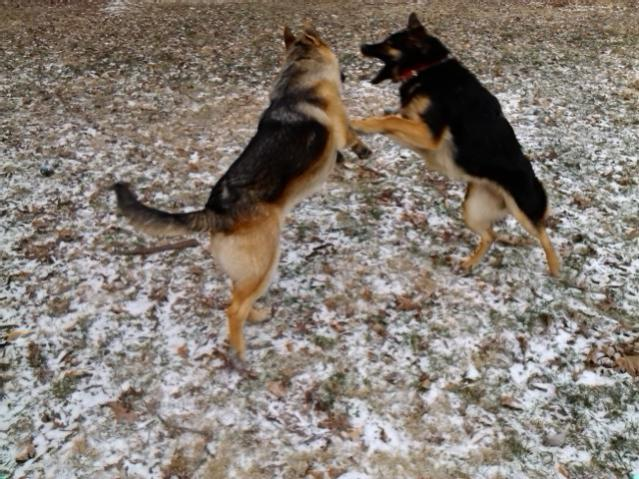 New owner of two GSD!-img_20140108_075440.jpg