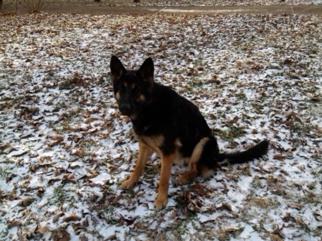 New owner of two GSD!-img_20140108_080057.jpg