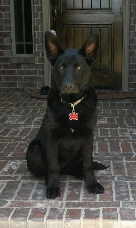 All black GSD collar colors-img_20140419_123305-01.jpg