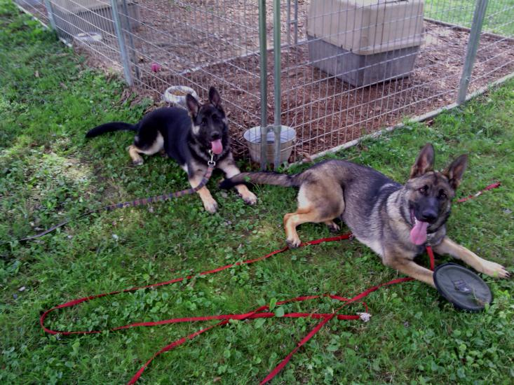 Our new GSD pups!-img_20140802_110041.jpg