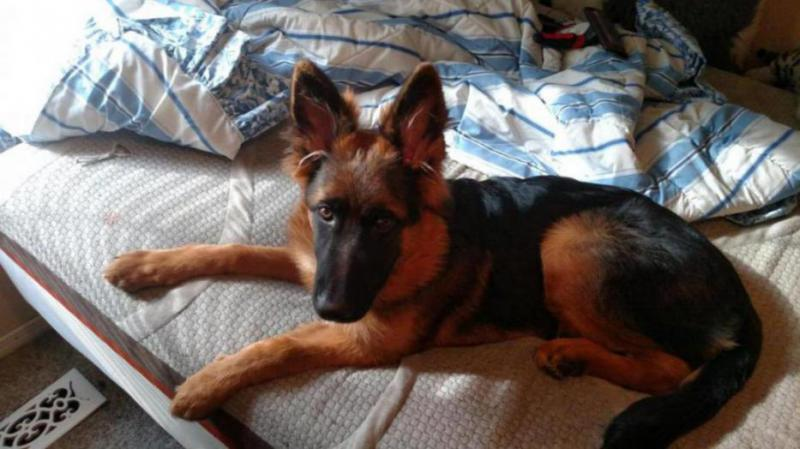 People who have plush fur German Shepherds please reply-img_20150929_161515125_1443652336785.jpg