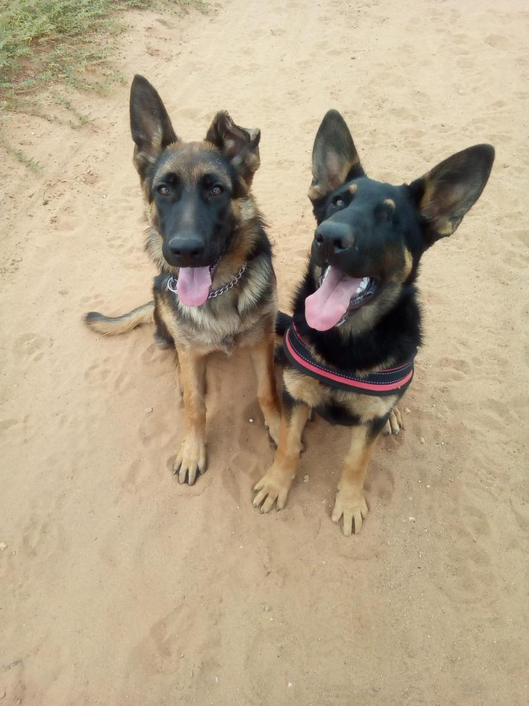 Ear Damaged German Shepherd Dog Forums