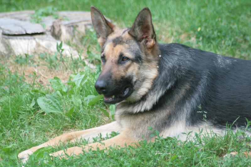 MISSING! Beloved Female German Shepherd- OHIO-img_2853.jpg