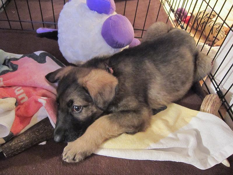 new pup Koda (7 weeks)-img_4290.jpg