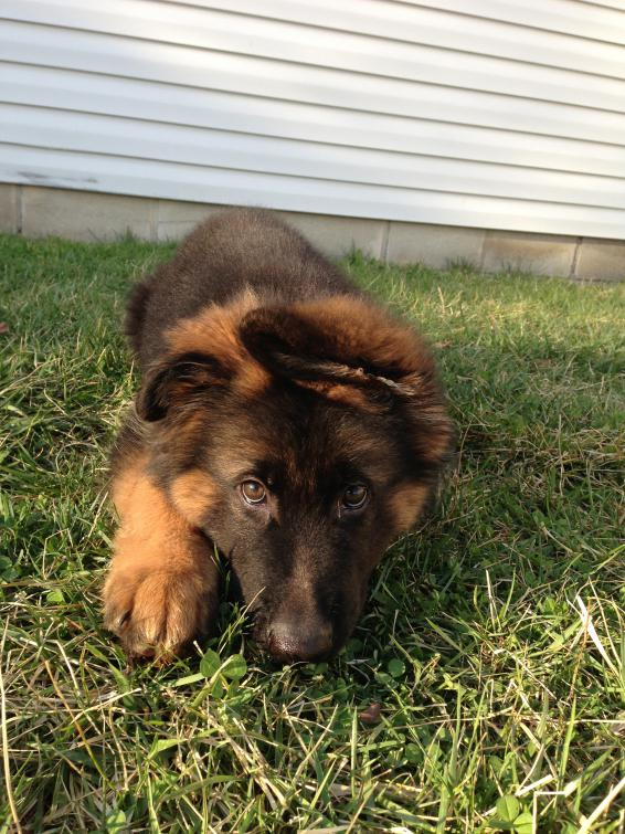 Krieger is 13 weeks-img_4433.jpg