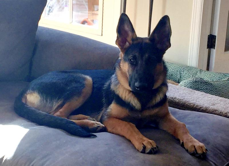 Height Growth Chart Page 59 German Shepherd Dog Forums