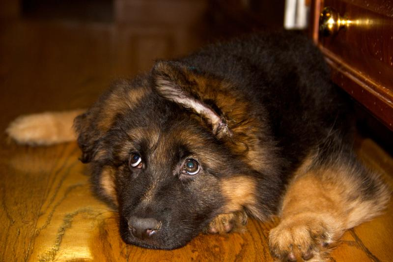 8/9/10+ Weeks old and ears are not up...-img_7137-version-2.jpg