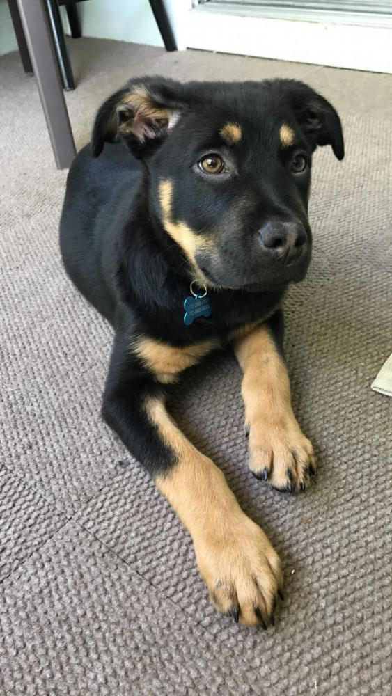 Wondering If My German Shepherd Mix Ears Might Stand Up