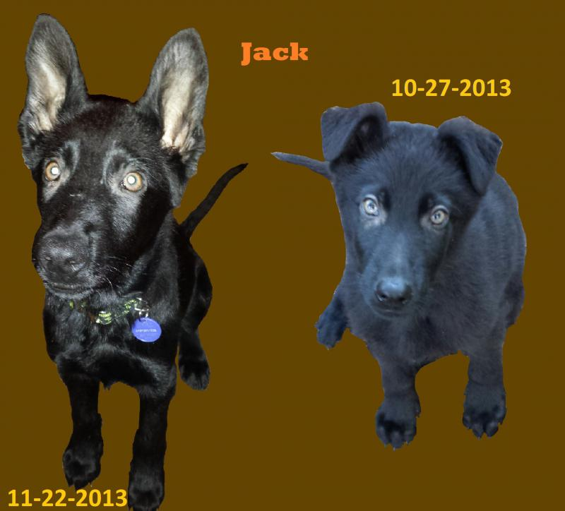 Beth here with Jack - my Black GSD-jack-comparison-10.27-11.22.jpg