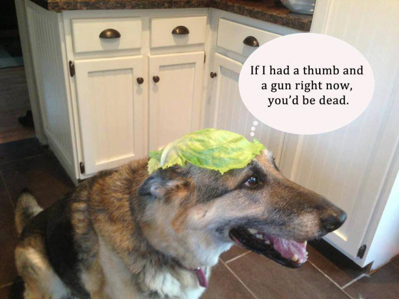 Funny GSD memes - Page 5 - German Shepherd Dog Forums