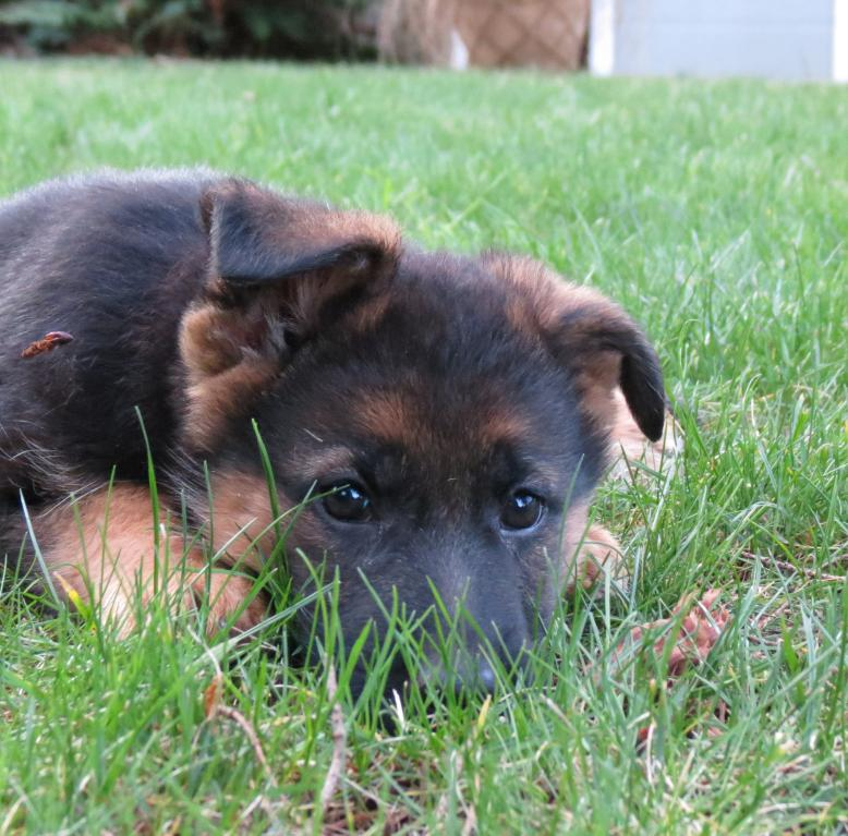 New puppy in Pacific Northwest-jazzie-8.5-weeks-2-4-14-043.jpg