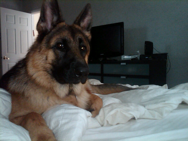 Kai Decided To Lay On My Bed German Shepherd Dog Forums