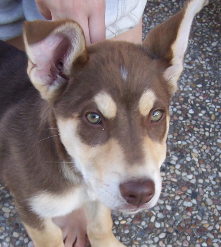 Pitbull German Shepherd Husky Mix Puppies