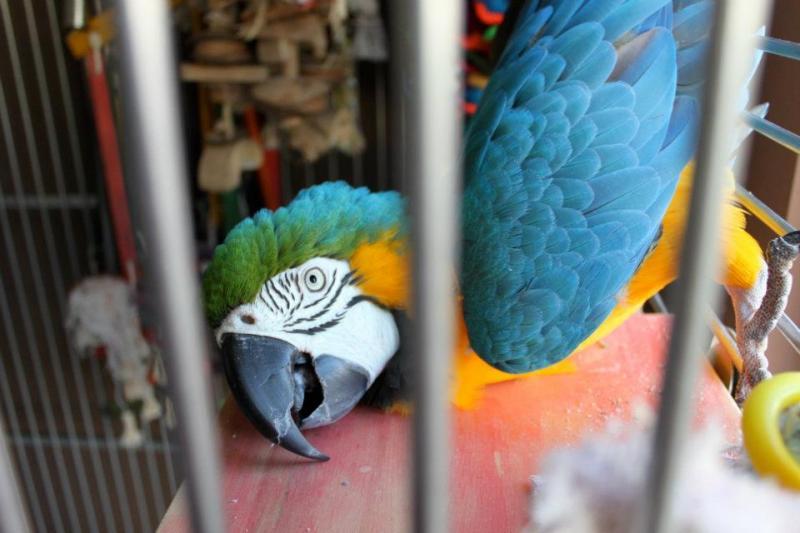 African Grey Parrot-kiwi.jpg