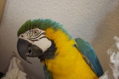 African Grey Parrot-kiwi1.jpg