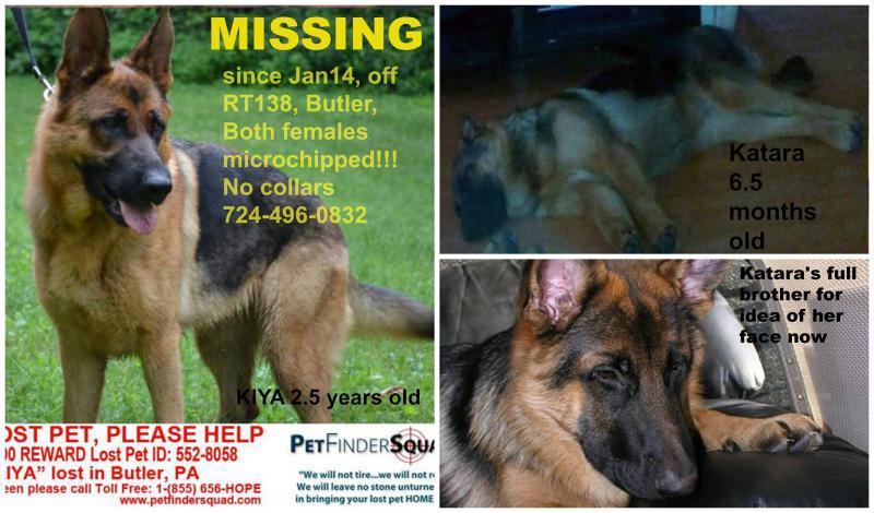 2 GSD's missing or stolen (Butler, PA)-kiya-katara-2-.jpg