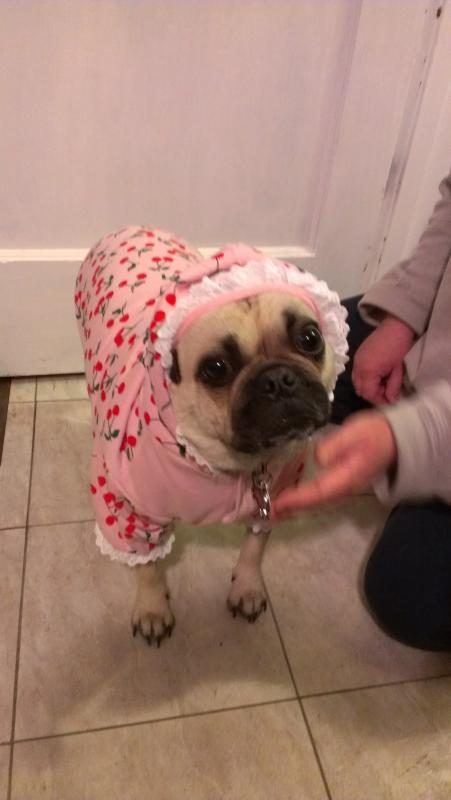 Layla's new coat (Pug)-laylacoat.jpg