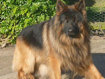 Long Coat German Shepherd Breeder - German Shepherd Dog Forums