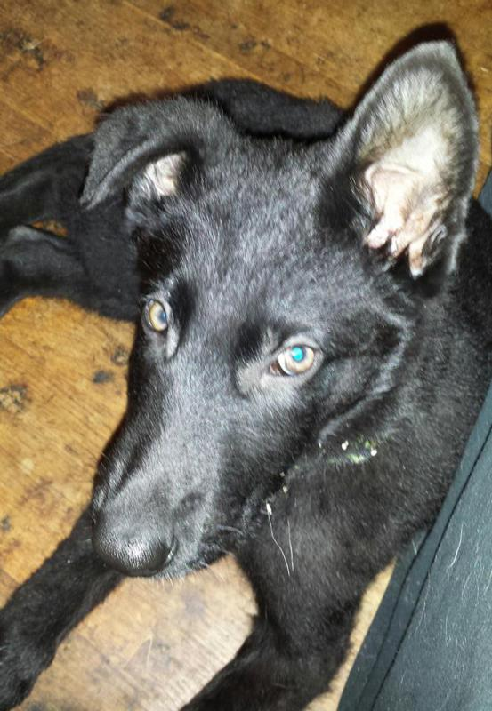 Beth here with Jack - my Black GSD-looking-atcha.jpg