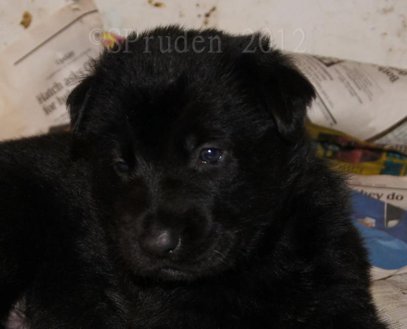 vom Loganberg GSD-male-puppy-em.jpg