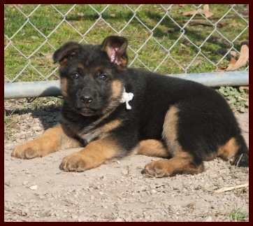 Karly.  I can't wait to get her home!-marley-white-female-german-shepherd-puppy.jpg
