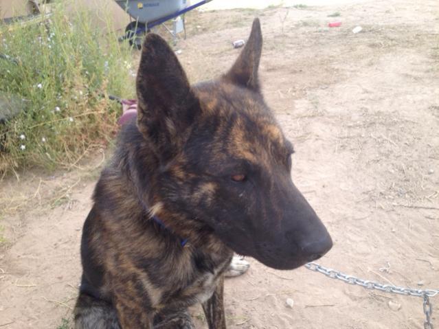 Brindle Pup Page 2 German Shepherd Dog Forums