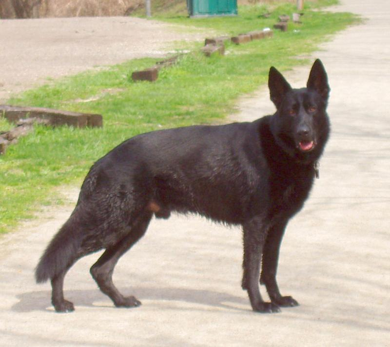 Show Your Beautiful Black GSDS!-maybe-1693.jpg