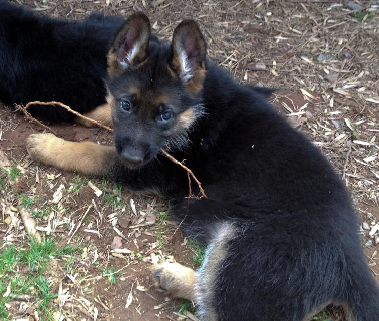 Haus Juris puppies-mia-pups-alpha-female.jpg