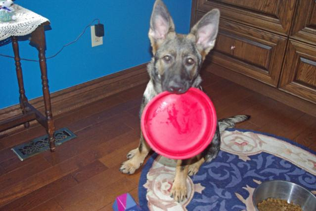 What is your puppys favorite toy? or your favorite to keep them busy?-my-chewber.jpg