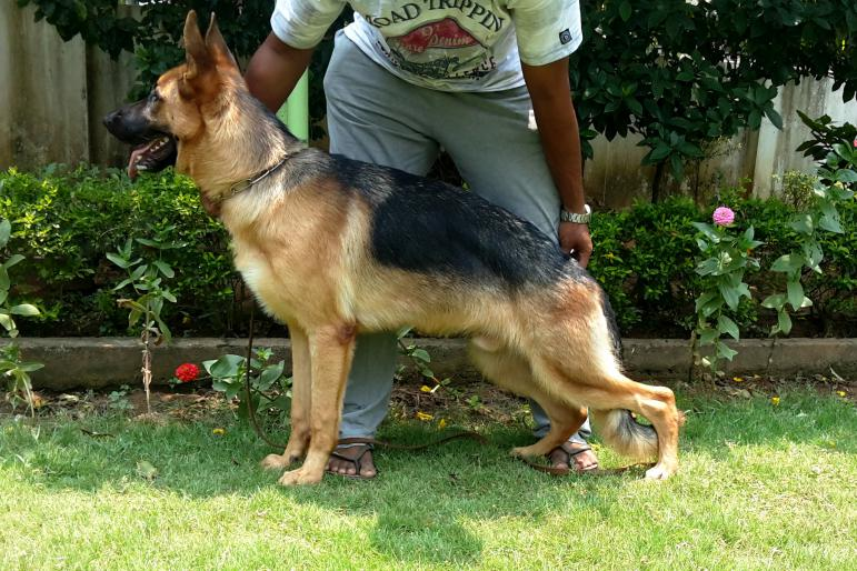 German shepherd height 7 months