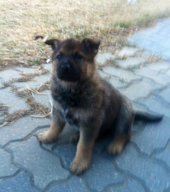 New Member with German Shepherd-neeewww-546.jpg