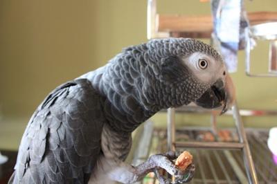 African Grey Parrot-newmanaosm.jpg